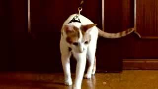 Поводок для кота.