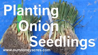 Gardening Tips: Starting Onions from Seedlings (Ep 3)