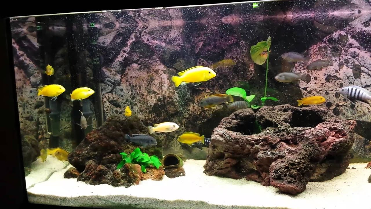 malawi aquarium kosten malawi cichlids aquarium. Black Bedroom Furniture Sets. Home Design Ideas