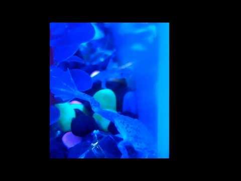 african dwarf frogs - Glofish tank