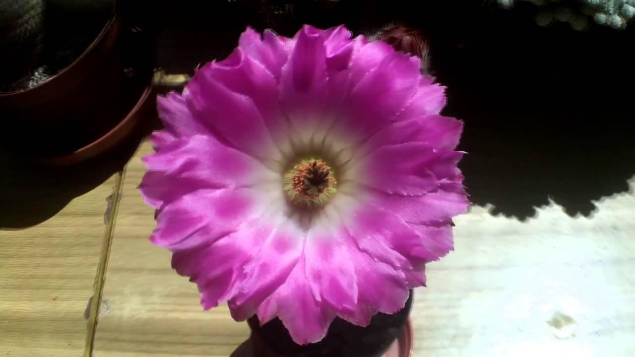 Echinocereus Rigidissimus Var Rubispinus Cactus In Beautiful Pink