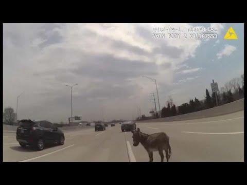شاهد: كيف تعاملت شرطية أمريكية مع حمار شق طريقا سريعة  - نشر قبل 37 دقيقة