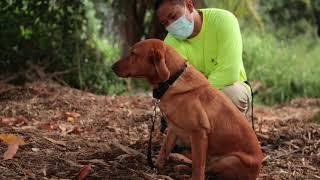 Cody: Canine Handler for Coconut Rhinoceros Beetle Detection Dog