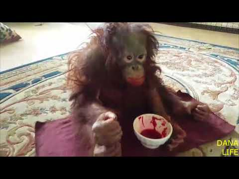 Дана и борщ. Парк львов Тайган. Orangutan Dana And Borscht