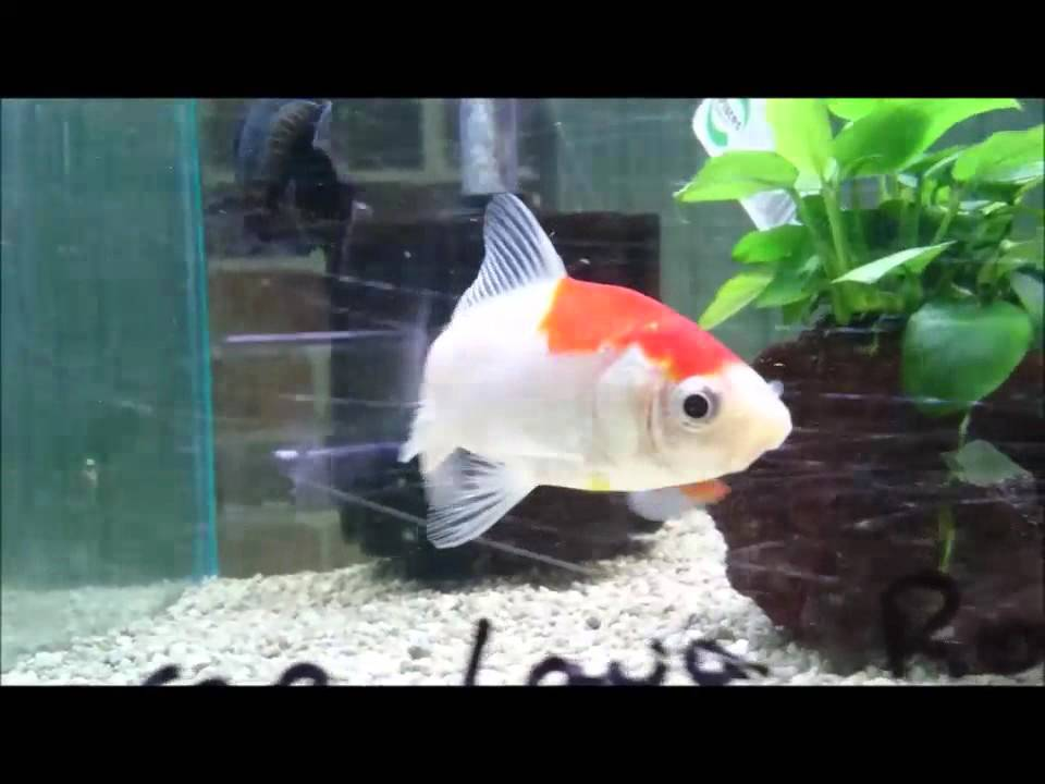 SOLD, Red and White Wakin Goldfish, Thailand Imported Fancy, Shrimplovers  Australia