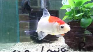 sold red and white wakin goldfish thailand imported fancy shrimplovers australia