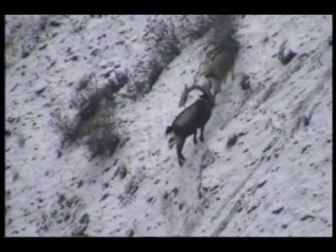 Markhor in chitral