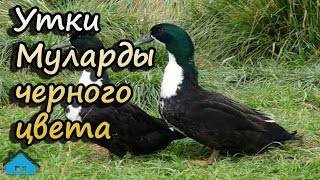 Утки Муларды черного цвета