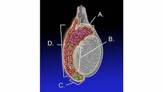 Difference Between Epididymis and Testicular Cancer