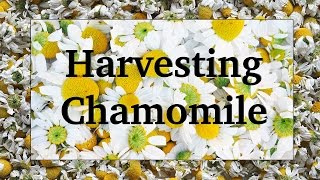 Harvesting and Drying Chamomile
