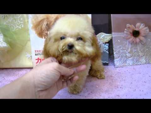 燒賣媽咪生日快樂!!!!! Teacup Poodle Toy Poodle Tiny Teacup Poodle Pocket Poodle