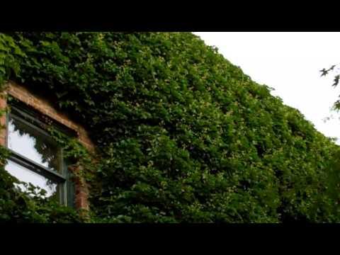 Downtown Starlings~Ashland Oregon