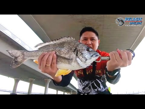 How To Catch This Monster Sea Bream | Yellow Fin