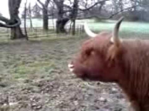 Cow Sound mooo