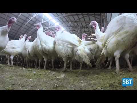 'On the Job' at a turkey farm