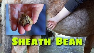 Horse Sheath Cleaning, Bean Removal and Riding Nikki