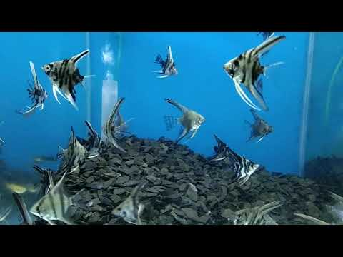 Beautiful Angelfish ~ Black and White Angel Fish swimming scenes in a Aquarium
