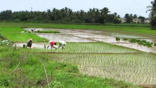 Paddy Fields, transplanting