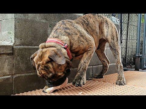 Feeding RAW Food To Bulldogge Puppy - K9 Mukbang