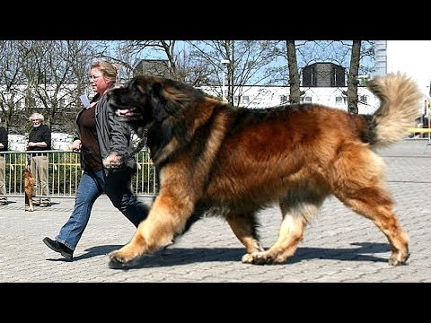 10 Giant Dog Breeds That Are Big Softies