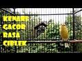Masteran Kenari Gacor Tembakan Ciblek Kristal  Mp3 - Mp4 Download