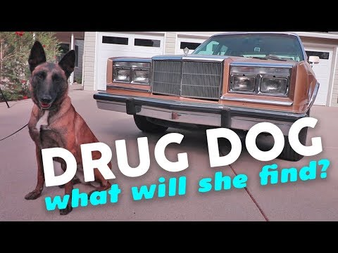 Will This Drug Sniffing Dog Find More Cocaine In My Chrysler?