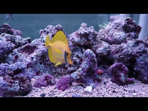 Neon Goby Cleaning Yellow Tang