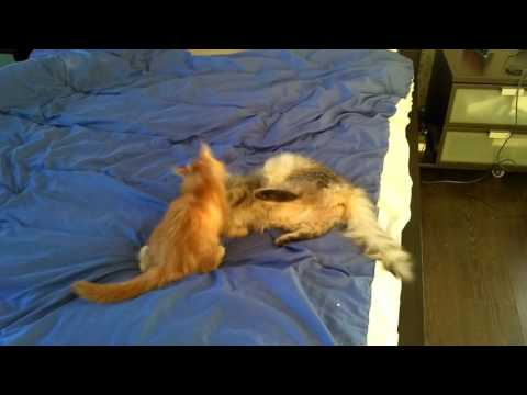 Maine Coon vs Siberian cats | Мейн кун vs Сибирские кошки