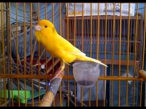 Burung Kenari Suara Bagus