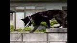 甲斐犬姫のジャンプとブロックの上を 歩く様子です。