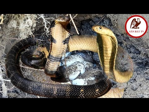 Đào hang bắt rắn: Gặp hổ mang nguyên bầy| Săn Bắt TV