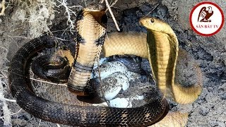 Dig the snakes to catch snakes: Meet tigers with raw material | Hunting Catching TV
