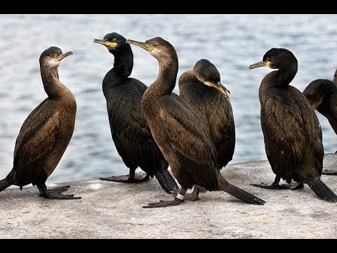 The European shag  Cormorant