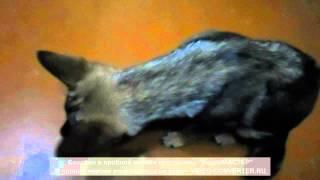 Непонятный кашель у нашей собаки_2