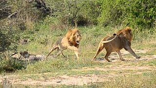 Lion protect his female and mates in Kruger Park www.privatekrugersafaris.co.za