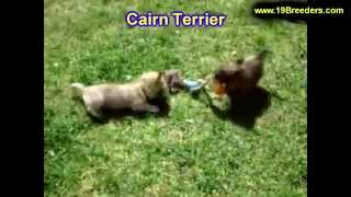 Cairn Terrier, Puppies, For, Sale, In, Badger, County, Alaska, Ak, Kink Fairview, College