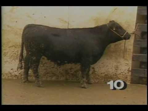 Grading Feeder Cattle.mp4