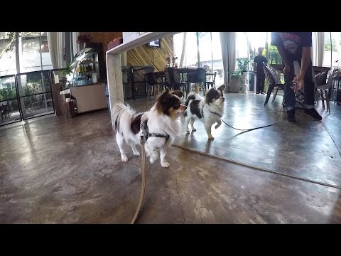 KETAWA  Chiangmai dog cafe เครซี่เที่ยวหาเพื่อนๆที่ KETAWA Dog friendly kafe'