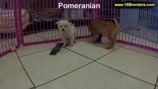 Pomeranian, Puppies, For, Sale, In, Mobile, County, Alabama, Al, Huntsville, Morgan, Calhoun, Etowah