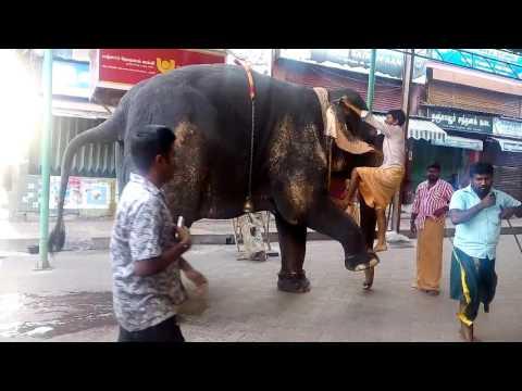 7.4.2016 Elephant, Madurai Meenakshi Amman Temple.