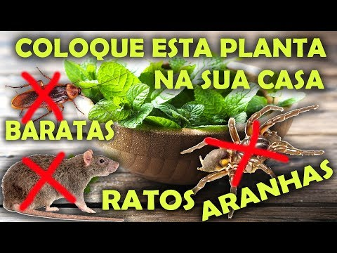 ELIMINE RATOS, BARATAS E ARANHAS ELES VÃO DESAPARECER COM ESSA PLANTA