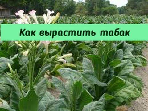 Как вырастить табак.
