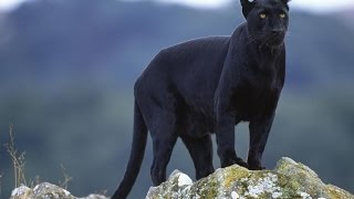 Leopard and Black Panther as Totems: Personality Traits and Life-Path Lessons
