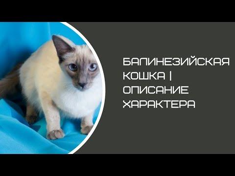 Балинезийская кошка / Балийская / Балинез | Описание характера и породы кошек