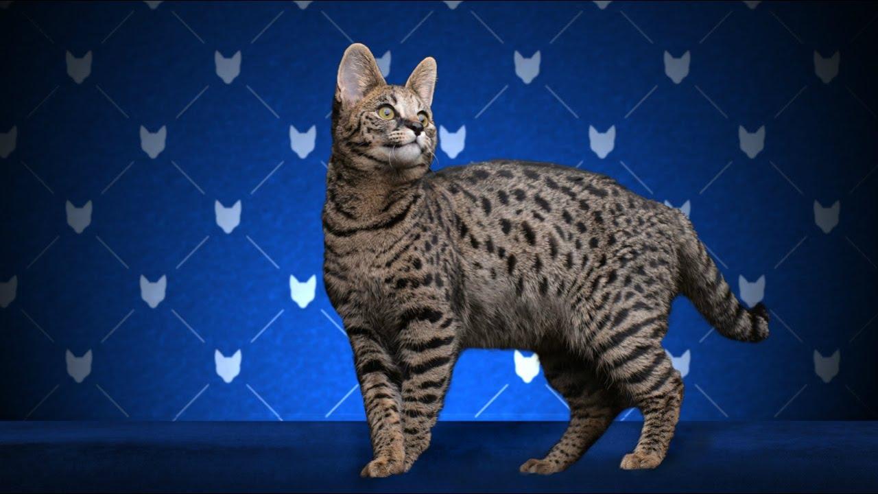 Саванна Кошка, Породы кошек, описание