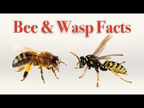 Bee and Wasp Facts