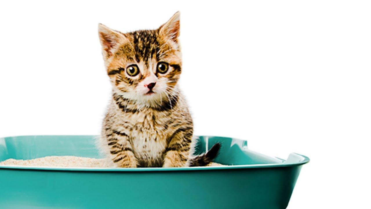 猫のトイレトレーニング子猫のトイレのしつけ法 Youtube