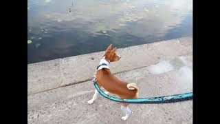 Basenji puppy Ronald | Басенджи Рональд.