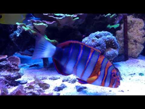 Tiger in my reef, Harlequin Tusk