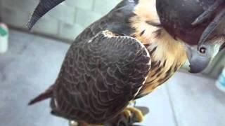 Parásitos externos en ave de presa